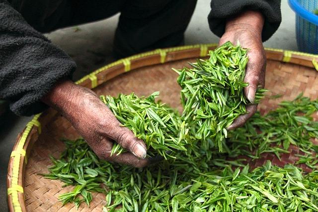 Важные критерии выбора зеленого чая - Как выбрать зеленый чай